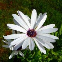Белый цветок. :: Чария Зоя