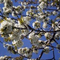 Черешня цветет :: Татьяна Пальчикова