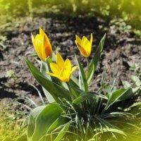 жёлтые тюльпаны вестники разлуки :: Marina Timoveewa