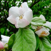 айва цветёт :: СветЛана D
