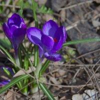 Первоцветы в Ботаническом саду :: Алёна Чалова
