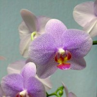 Орхидея :: Сергей Карачин