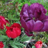 майские тюльпаны :: Александр Корчемный