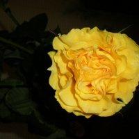 Жёлтая :: Алёна Савина