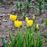 Про тюльпаны... :: Михаил Болдырев