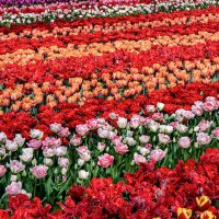 Tulips in Holland 04-2015(1) :: Arturs Ancans