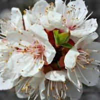 Весна.Первомайский абрикос :: Galina Belugina
