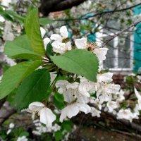 Май,цветёт вишня под окном... :: Тамара (st.tamara)