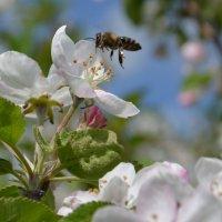Пчелка Мая :: Елена