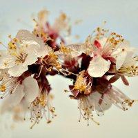 Цветение абрикос :: galina tihonova