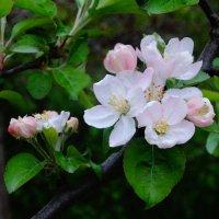 цвет весны :: Нади часоК