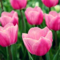 Цветы – остатки рая на земле. :: Оксана Мельниченко