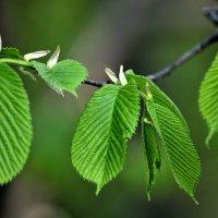 Весенние листья.. :: Юрий Анипов