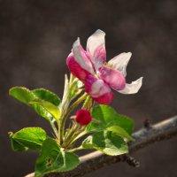 Яблони цветут :: Ольга Мальцева