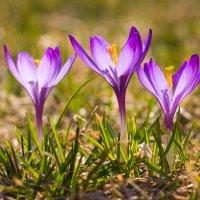 Первоцветы, крокусы, 2 :: Юрий