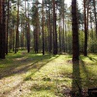 Светлый лес :: Андрей Зайцев