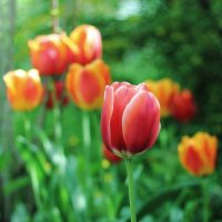 Тюльпаны в саду :: Юрий Гайворонский
