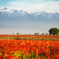 Маки и горы :: Евгений Морозов