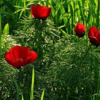 Пион-воронец  Пион тонколистный, или узколистный (p.tenuifolia) :: Игорь Kуленко