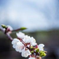 Цвет абрикоса, с. Синенькие :: ILYA CHUDIN