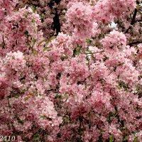 Яблоня декоративная (пурпурная) :: Нина Бутко