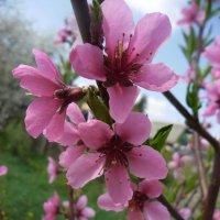 цветок персика :: Людмила