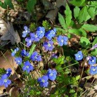 Голубоглазые первоцветы :: Ольга Голубева