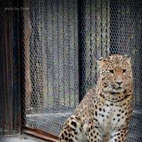 Кавказский леопард :: Lady Etoile
