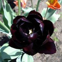 Черный тюльпан... :: Сергей Петров