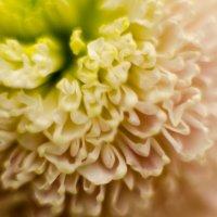 цветы макро :: Boriss Sisojevs