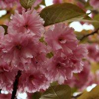 Старое дерево вишни Радует цветами. :: Елена