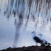 Чайки на пруду :: Юрий