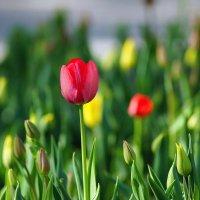 Первые тюльпаны :: Igor Khmelev