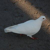 Белый голубь :: Александр Буянов