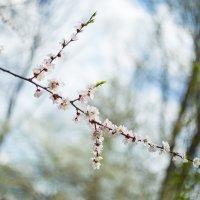 акварельная ветка абрикоса :: Мария Корнилова