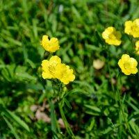 Лютики - цветочки... :: Михаил Болдырев