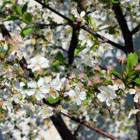Вишенка цветет нарядная  в нашем маленьком саду. :: Валентина ツ ღ✿ღ