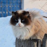 Кошка на заборе. :: Кристина Девяткина