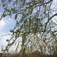 Самые явные признаки Весны- Серёжки :-) :: Наталья Аринцева