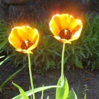 тюльпаны на солнышке :: Элла Перелыгина
