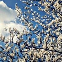 Магнолия в цвету :: Катерина Попович