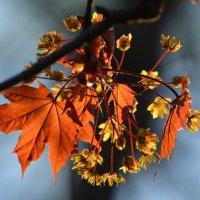Цветущие клёны – надежда на новую сказку, ежегодная вера в чудеса... :: Ольга Русанова (olg-rusanowa2010)