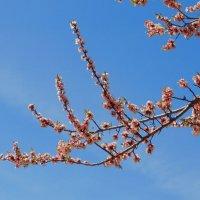 Цветы абрикоса :: Svetlana27