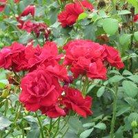 Розы :: alemigun