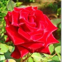 Атласная роза любви :: Лидия (naum.lidiya)