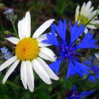 Милые сердцу цветы полевые. :: оля san-alondra