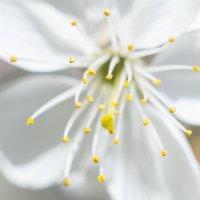 Вишня в цвету :: Александр Овчаров