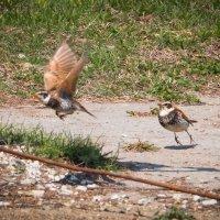 Птичьи баталии. Борьба за тарриторию. :: Сергей Щелкунов