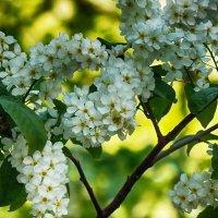 Цветущаа весна :: лиана алексеева