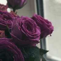 розы :: Наталья Лисицына